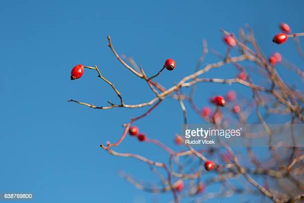 Rosa rubiginosa (sweetbriar rose, briar rose, eglantine)