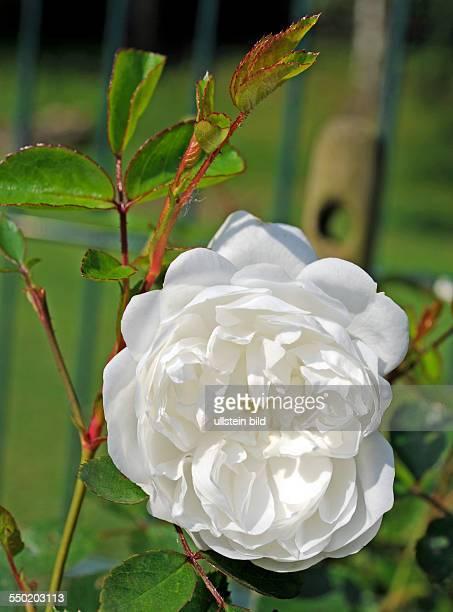 Rosa Schneeballett eine schneeweiss blühende remontierende BodendeckerRose hier eine Blüte in Grossaufnahme