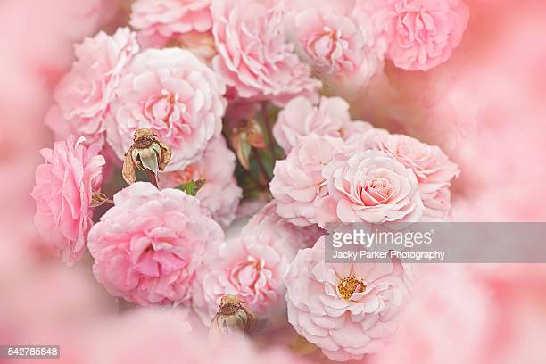 rosa 'sexy rexy' soft pink flowers - st. albans stock pictures, royalty-free photos & images