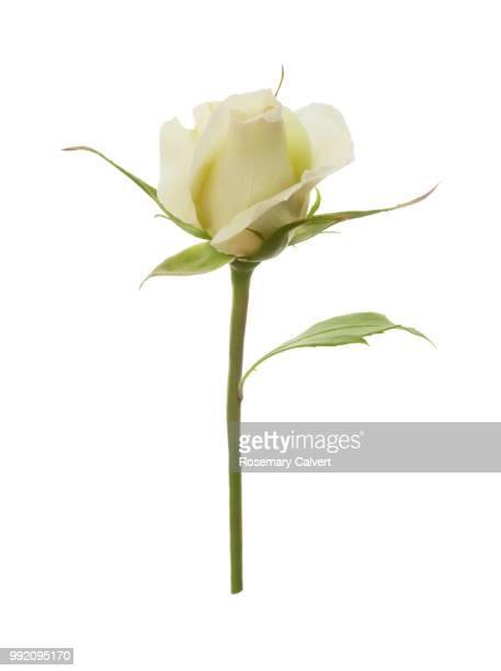 Rosa Silver Anniversary, white rose bud on white.