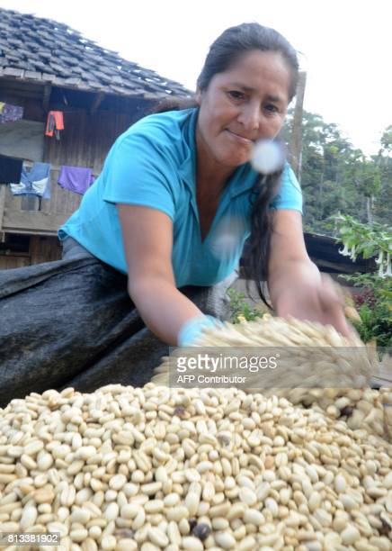 Rosa Vera wife of coffee planter Javier Sedano covers coffee grains drying in the open to protect them from the rain on June 28 at their plantation...