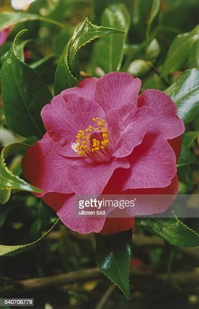 Rosafarbene Blüte der Chinarose 'Rusticana Honda'