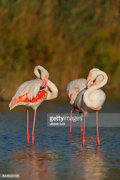 RosaflamingoGreater FlamingoPhoenicopterus ruberPhoenicopterus roseusFlamant roseFlamenco Común