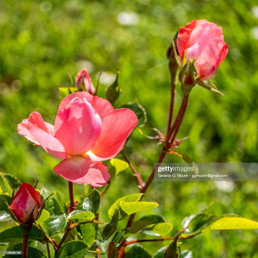 rosal, flor rosa : Stock Photo
