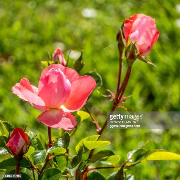 rosal, flor rosa