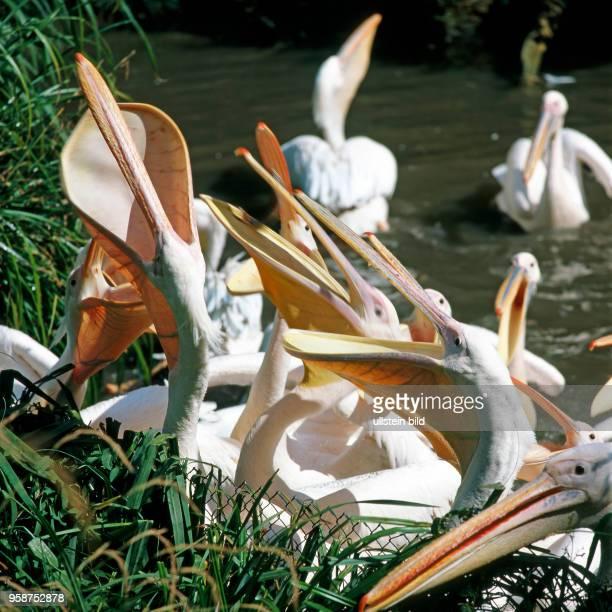 Rosapelikane recken hungrig ihre langen Kescherschnaebel empor in Erwartung einer Fischmahlzeit. Pelikane sind die groessten unter den Ruderfuesslern.