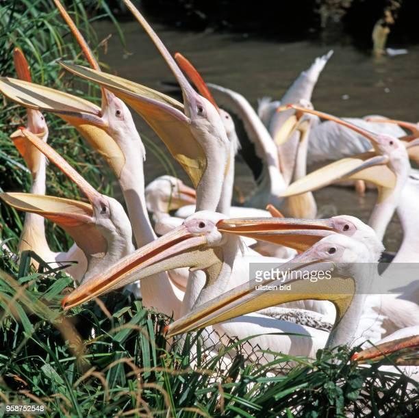 Rosapelikane recken hungrig ihre langen Keschschnaebel empor in Erwartung einer Fischmahlzeit. Pelikane sind die groessten unter den Ruderfuesslern.