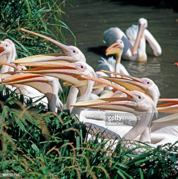 Rosapelikane recken hungrig ihre langen Keschschnaebel vor in Erwartung einer Fischmahlzeit. Pelikane sind die groessten unter den Ruderfuesslern.