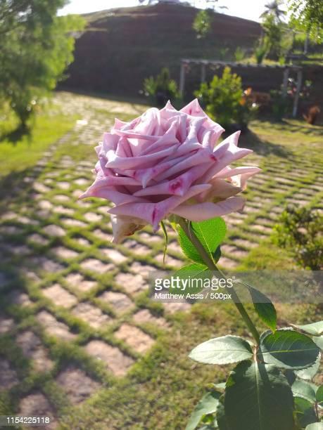 rosas - assis ストックフォトと画像