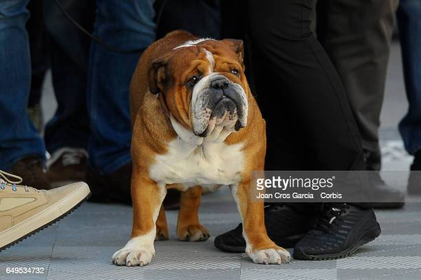 Roscoe Lewis Hamilton's dog accompanied him during the Formula One preseason tests on May 7 2017 in Barcelona Spain