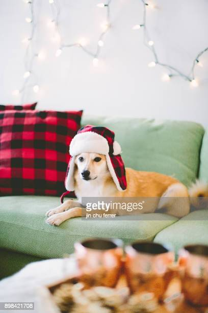 roscoe the shiba inu mix. - shiba inu winter stock pictures, royalty-free photos & images