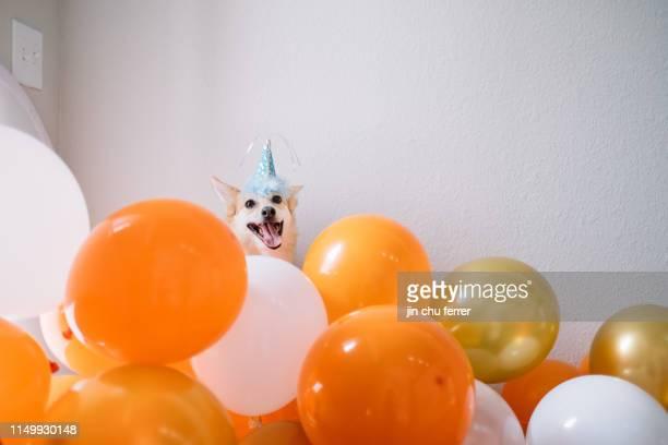 roscoe's birthday! - birthday balloons - fotografias e filmes do acervo