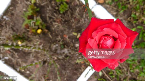 rose, a beautiful gift. - crmacedonio stock pictures, royalty-free photos & images
