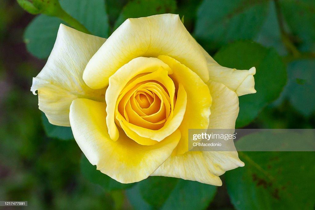 Rose, a beautiful gift. : Stock Photo