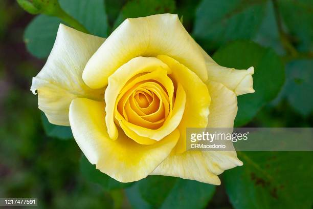 rose, a beautiful gift. - crmacedonio photos et images de collection