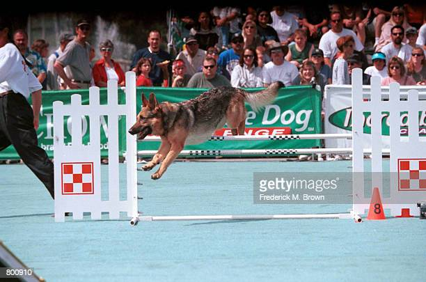 Rose, a German Shepherd, jumps over a hurdle during the Agility Competition at the Incredible Dog Challenge in Pomona, C.A., April 8, 2000. The...