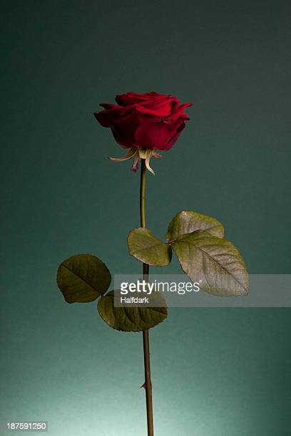 A rose against a green background