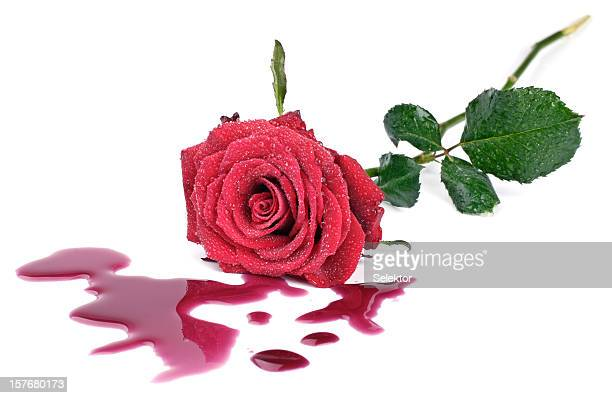 rose and blood - animal blood stock photos and pictures