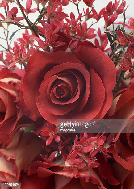 rose and christmas bush - christmas background stock photos and pictures