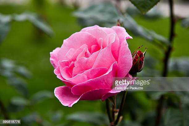 a rose at iyidere of rize province on the black sea coast of north-eastern turkey - rose colored stock pictures, royalty-free photos & images