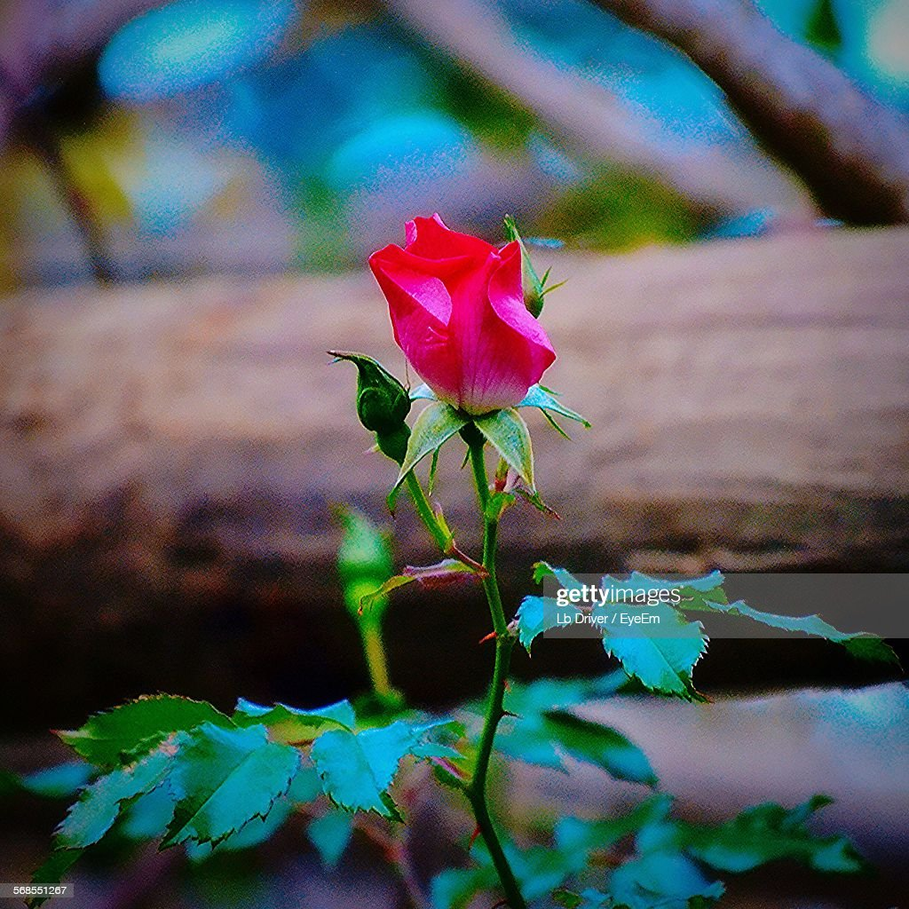 Rose Blooming Outdoors : Stock Photo