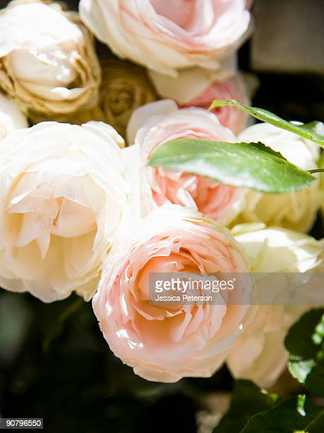 rose bush - studio city stock pictures, royalty-free photos & images