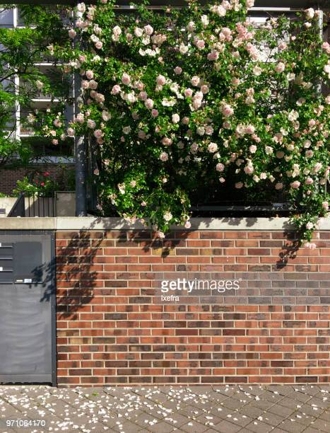 Rose bushes over a compound wall.