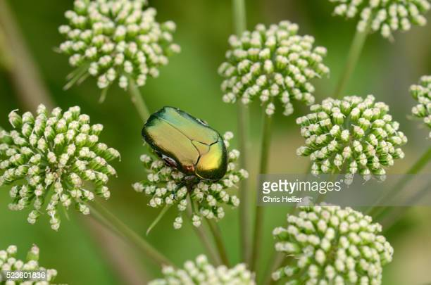 rose chafer bug or beetle cetonia aurata - giant hogweed stock pictures, royalty-free photos & images