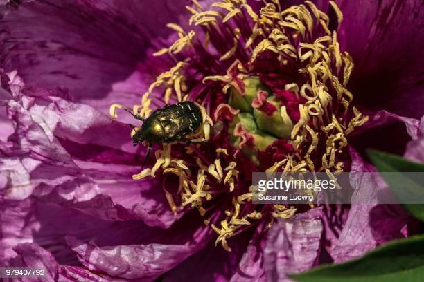 Rose chafer (Cetonia aurata) perching on pfingstrose