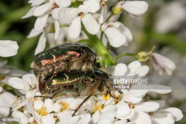 rose chafers (cetonia aurata) mating, baden-wuerttemberg, germany - tierpaarung stock-fotos und bilder