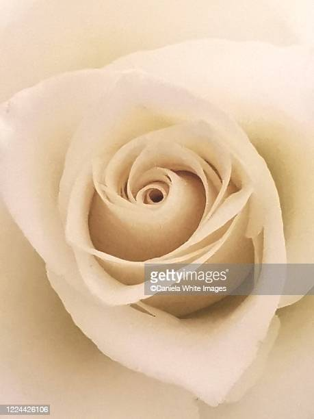 rose close up - anniversary stock pictures, royalty-free photos & images