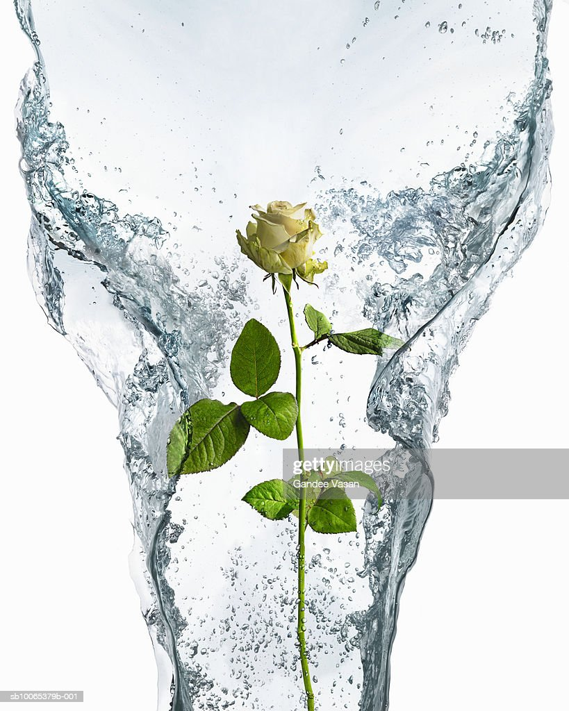 Rose encased in ice and water : Foto stock