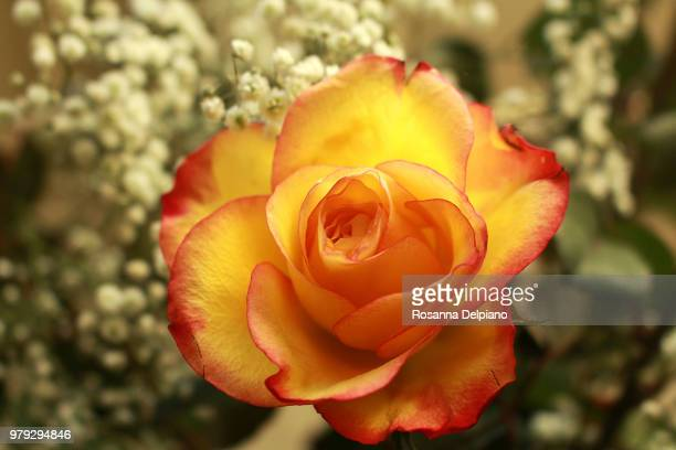 rose et muguet premier mai - muguet stock pictures, royalty-free photos & images