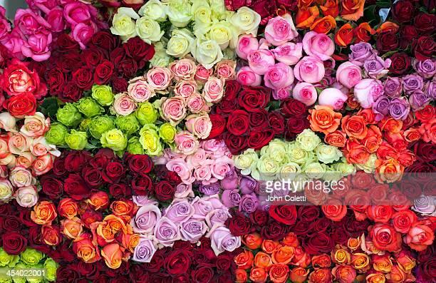 Rose Farm, Ecuador