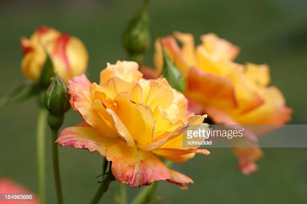 Rose Blume Bonanza