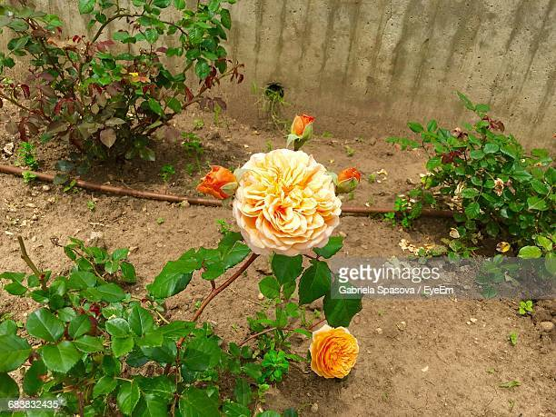 rose flower growing in garden - sofia rose stock photos and pictures