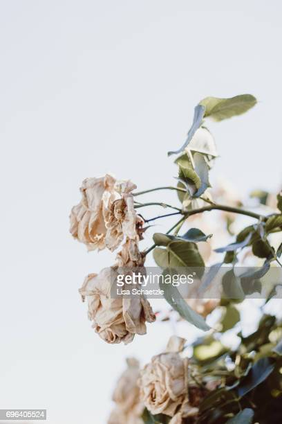 rose flower in summer - hausgarten stockfoto's en -beelden