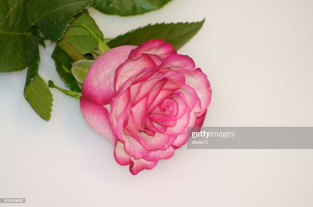 Rose Flower Is A Symbol Of Beauty Stock Photo Getty Images