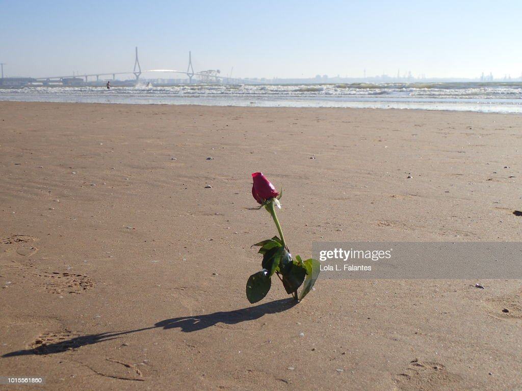 A rose flower on the beach : Foto de stock