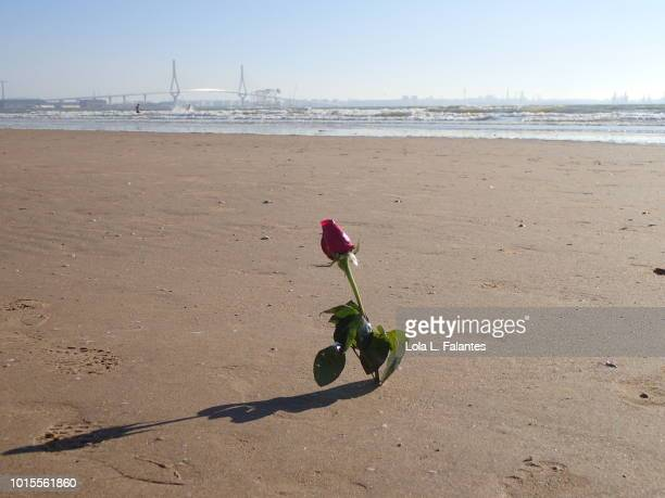 A rose flower on the beach