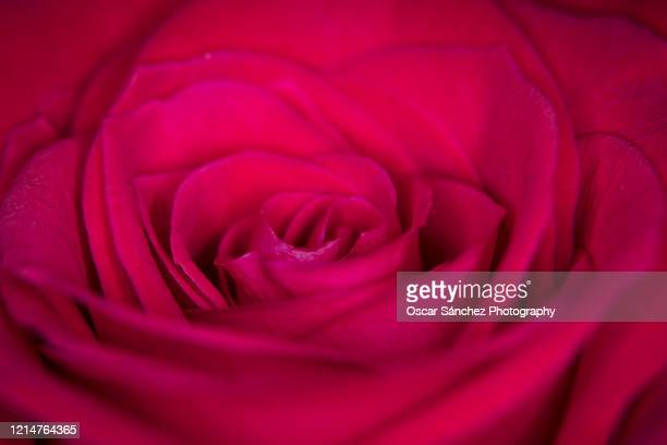 rose flower - vector illustrations stock pictures, royalty-free photos & images