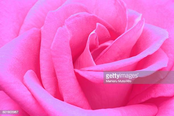 Meaning of pink rose stock photos and pictures getty images rose flower mightylinksfo