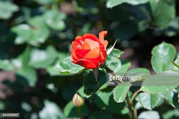 rose flower - hokuriku region stock photos and pictures