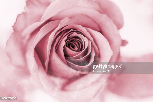 rose flower pink - rose colored stock pictures, royalty-free photos & images