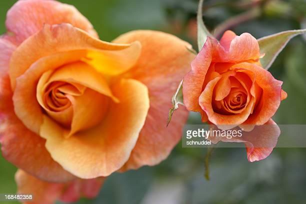 Rose Blume Westerland