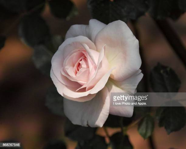 rose flowers blooming in a rose garden - mois de mai photos et images de collection