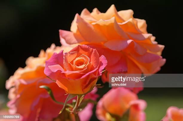 Rose Blumen Freisinger Morgenröte