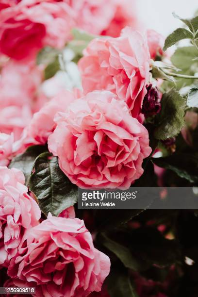 rose flowers - flower part stock pictures, royalty-free photos & images