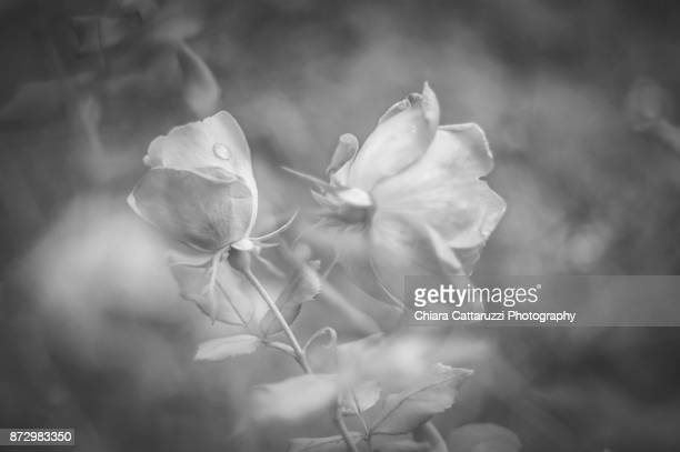 Rose flowers with raindrops