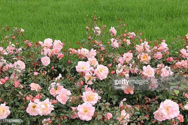 Rose garden mit Rasen